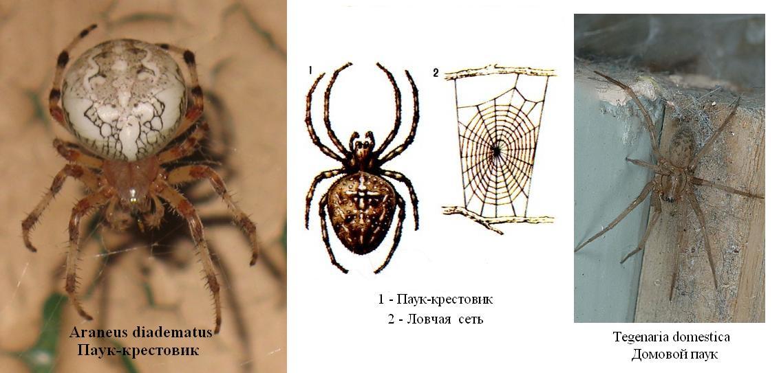Всё о пауках: Домовой паук или паук Тегенария