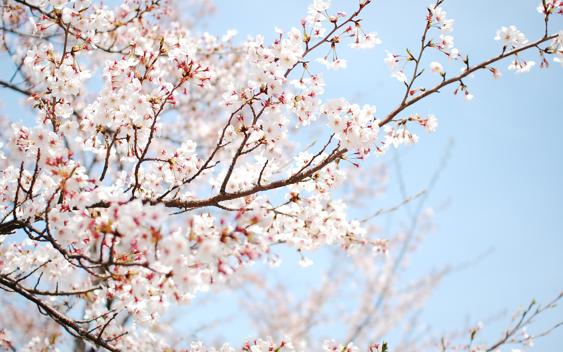 cherry blossom branch - photo #12