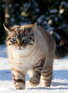 Fantastic-cat-in-the-snow-hd_cut